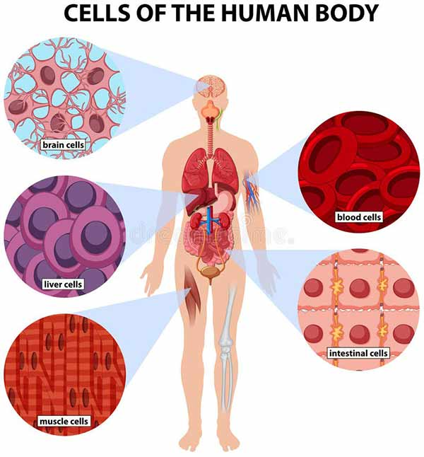 Cell-of-human-body
